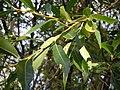 Salix lasiandra (5014980926).jpg