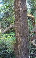 Salix tetrasperma 07.JPG