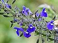 Salvia azul (Salvia amethystina) - Flickr - Alejandro Bayer.jpg