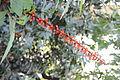 Salvia confertiflora (3494494713).jpg
