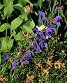 Salvia pratensis ssp. pratensis PID1782-1.jpg