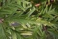 Sambucus racemosa 'Sutherland Gold' Leaf Closeup 3008px.JPG