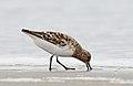 Sanderling (Calidris alba) (3518338273).jpg