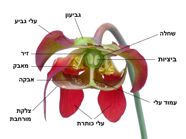 Sarracenia flower notitles-he.svg