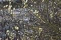 Saule marsault (Salix caprea)-0017.jpg