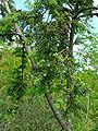 Saxegothea conspicua 2.jpg