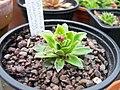 Saxifraga paniculata kolenatiana Atropurpurea (5560396487).jpg