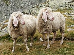 """Zwei Hausschafe (Ovis orientalis aries) auf einer Bergweide in den Stubaier Alpen (""""typische Pose""""; eines mit Glocke, eines mit Ohr-Marke)"""