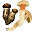 Schulzer - Leccinum duriusculum.png