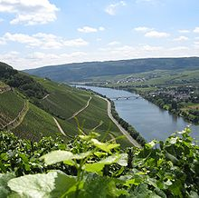 Colour photograph showing the steep slopes of the Moselle in German vineyards.  In the foreground, there are leaves and tendrils of Vitis vinifera; green vines are planted on slopes, alternated with retaining walls and paths in a zig-zag pattern.  In the valley, the Moselle flows under a bridge next to a village
