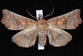 Scoliopteryx libatrix JdW.jpg