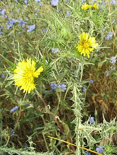 <i>Scolymus maculatus</i> species of plant