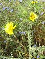 Scolymus maculatus.jpg