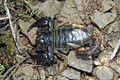 Scorpion - Flickr - GregTheBusker (3).jpg