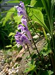 Scutellaria sp2.jpg