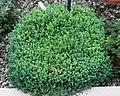 Sedum dasyphyllum 1 - Buffalo Botanical Gardens.jpg