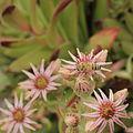 Sempervivum kindingeri-IMG 4196.jpg