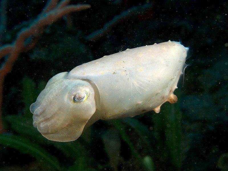 Sepia latimanus (Reef cuttlefish) all white