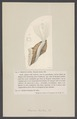Serpula lactea - - Print - Iconographia Zoologica - Special Collections University of Amsterdam - UBAINV0274 007 01 0035.tif
