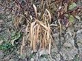 Setaria italica subsp. italica sl8.jpg