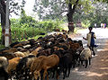 Sheep and herder India.jpg