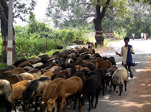 Herd - Boy herding a flock of sheep, India; a classic example of the domestic herding of animals