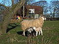 Sheep with lambs - geograph.org.uk - 360387.jpg