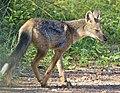 Side-striped Jackal (Canis adustus) (50623616127).jpg