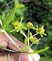 Sigesbeckia orientalis 10.JPG