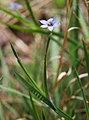 Sisyrinchium angustifolium blue-eyed grass meadow.jpg