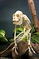 Skeleton of Alouatta.jpg