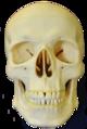 Skull-anterior1.png