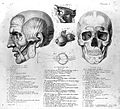 Skull from Anatomie du Gladiateur. Wellcome L0011868.jpg