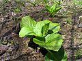 Skunk Cabbage Leaves.jpg