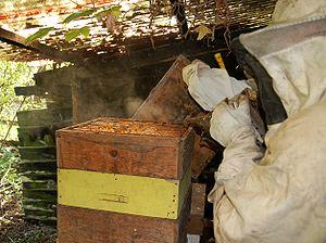 Bee smoker - A beekeeper smoking a hive.