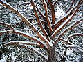 Snow covered tree in Main 02-2005 02.jpg