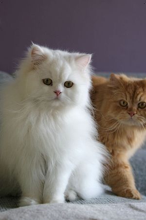 Persian cat - Traditional Persian.