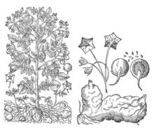 Solanum tuberosum Tavola botanica di Gaspard Bauhin (1591).