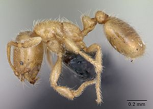 Solenopsis fugax casent0173147 profile 1.jpg