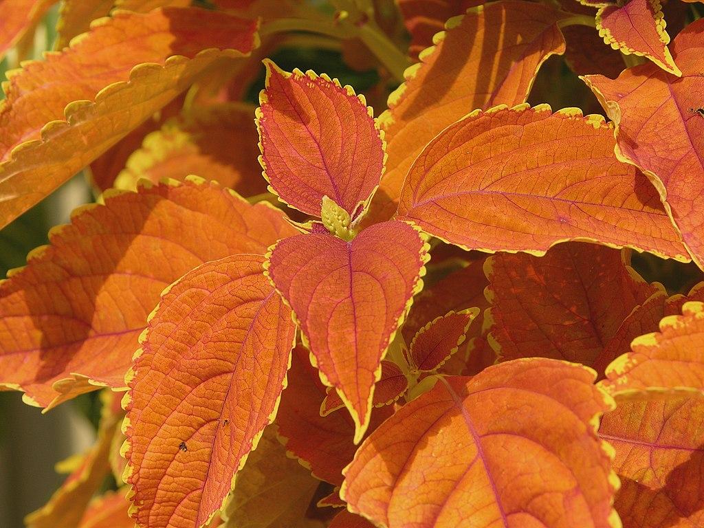 File solenostemon scutellarioides coleus x hybridus for Amber leaf