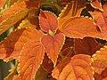 Solenostemon scutellarioides (Coleus x hybridus) 'Rustic Orange' Leaf Cluster 3264px.jpg