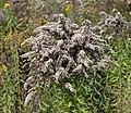 Solidago canadensis ripe 2013 G1.jpg