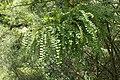 Sophora microphylla kz01.jpg