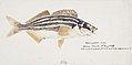Southern Pacific fishes illustrations by F.E. Clarke 15.jpg