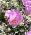 Sphaeralcea ambigua var rosacea 5.jpg