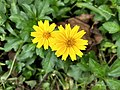 Sphagneticola trilobata,Singapore daisy.jpg
