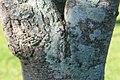 Spondias purpurea 13zz.jpg