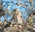 Spotted Owlet.jpg