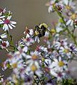 Spring-bee-nectar-flowers - West Virginia - ForestWander.jpg