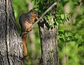 Squirrel (34446069751).jpg